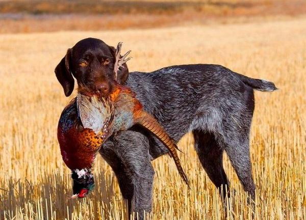 Дойчдратхаар с фазаном
