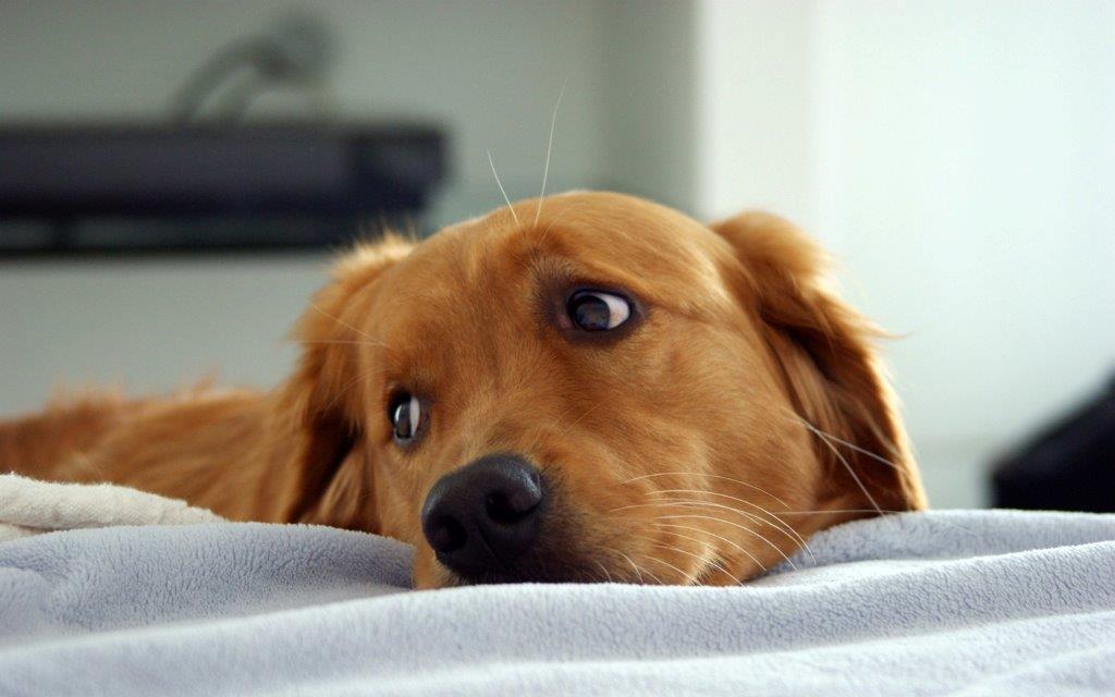 Грустная морда рыжей собаки