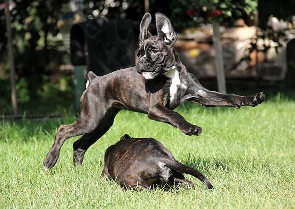 Немецкий боксер в прыжке