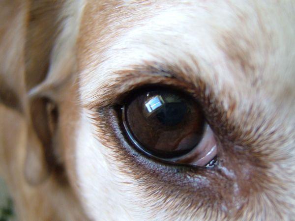 Карий глаз пса