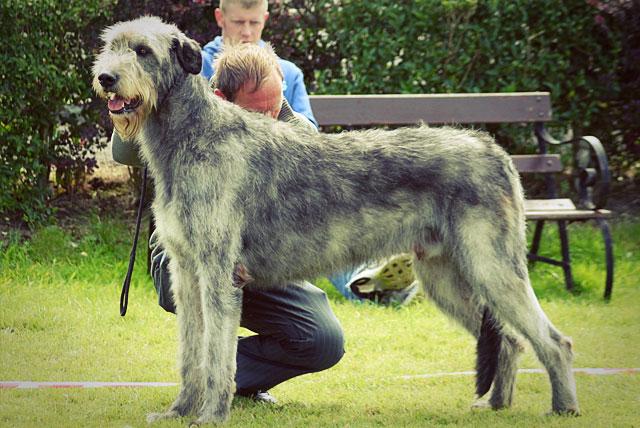 Серый ирландский волкодав