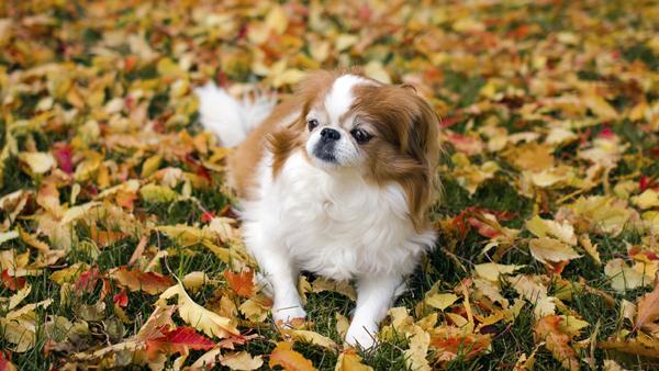 Японский Хин среди осенней листвы