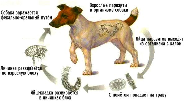 Заражение собаки глистами