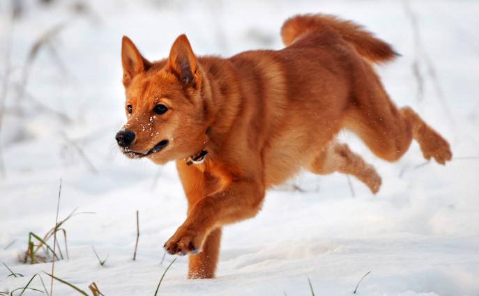 Лайка бежит по снегу