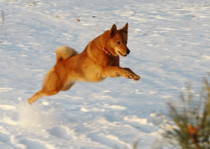 Карело-финская лайка в прыжке