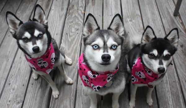 Трио аляскинских кли-каев