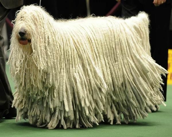 Комондор на выставке собак