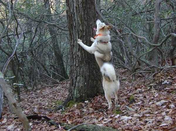 Собака видит цель и поднимает лай