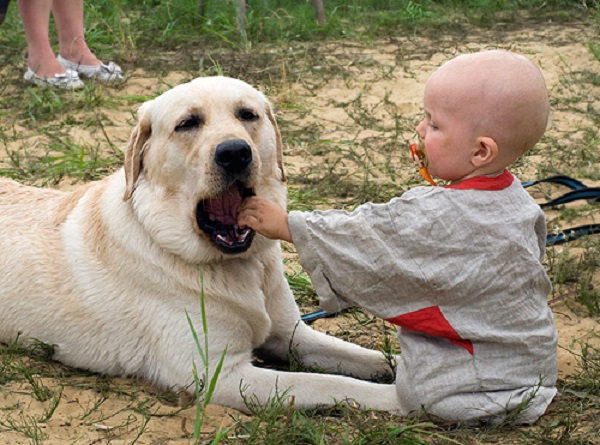 Ламбрадор и маленький ребенок