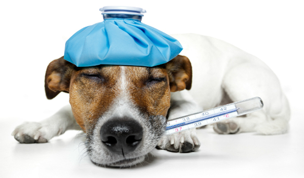 Заболевшая собака с градусником