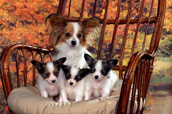 Мама-папийон со щенками