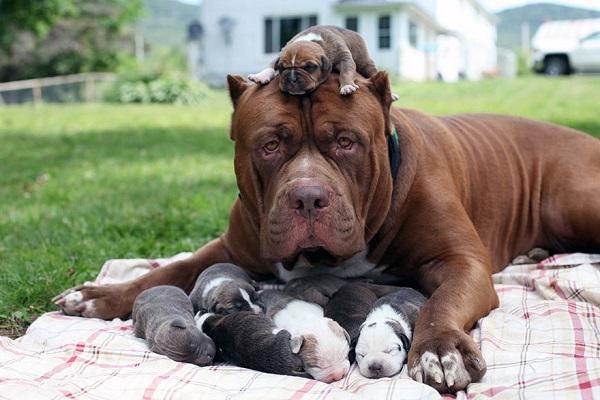 Мама питбультерьер со щенками