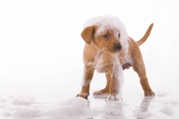 Мытье щенка шампунем