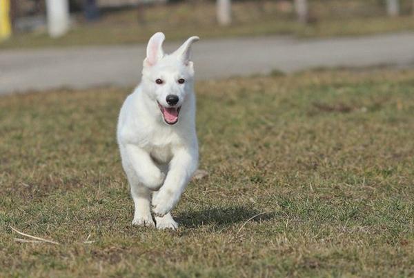 Щенок белой Немецкой овчарки бежит