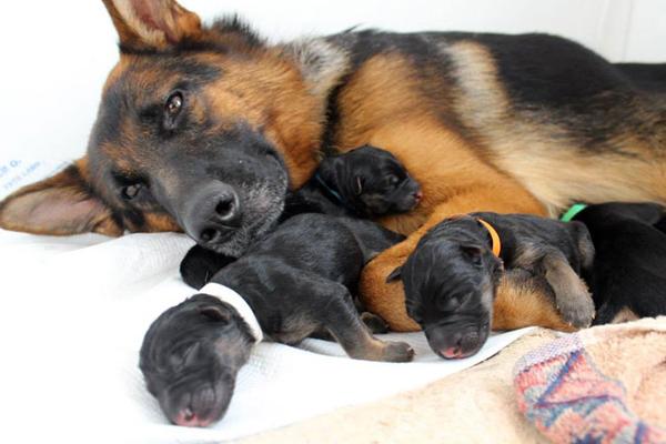 Овчарка немецкая с щенками