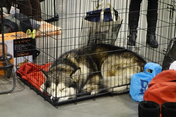 Пес в выставочной переноске