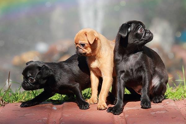 Милые щенки пти-брабансона