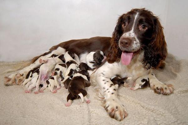 Русский спаниель с маленькими щенками