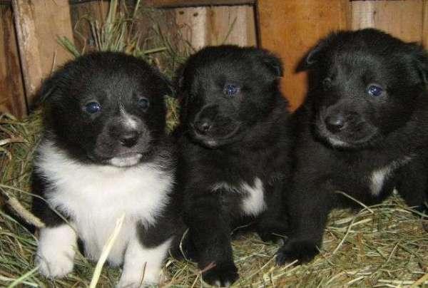 Три щенка русской лайки