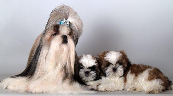 Ши Тцу со щенками