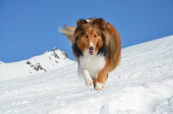 Шелти бежит по снегу