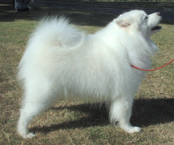 Самоедская собака на поводке