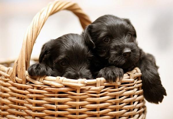Черные щенки миттельшнауцера в корзине