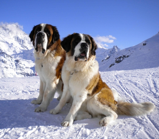 Два сенбернара на снегу
