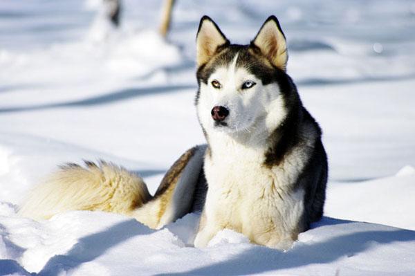 Хаски с разными глазами на снегу