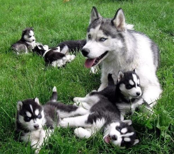 Хаски со щенками