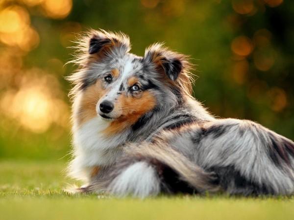 Собака с интересным окрасом