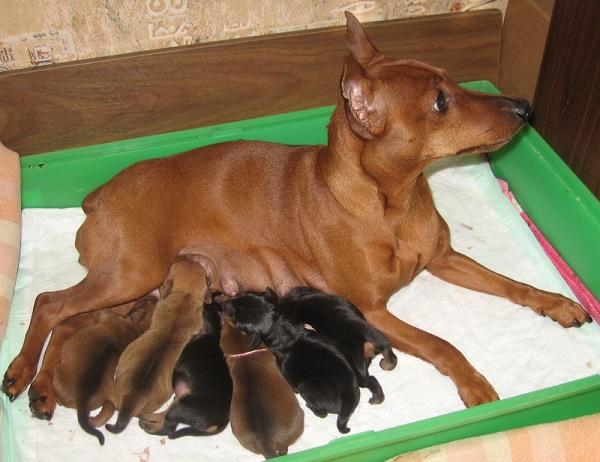 Сука цвергппинчера со щенками