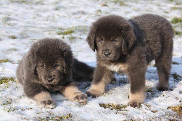Два щенка Тибетского мастифа