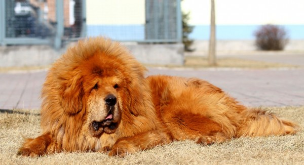 Тибетский мастиф золотистого цвета