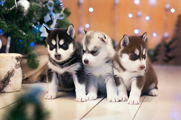Три маленьких щенка