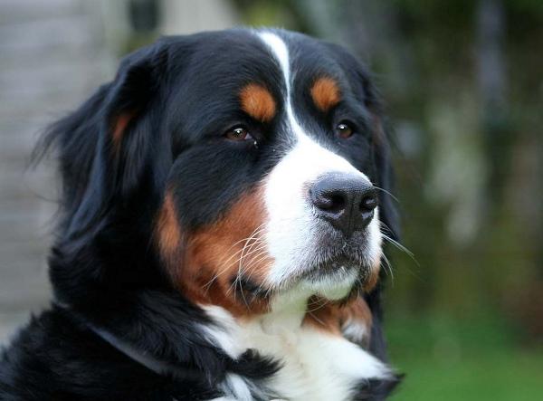 Важный пес породы зеннехунд