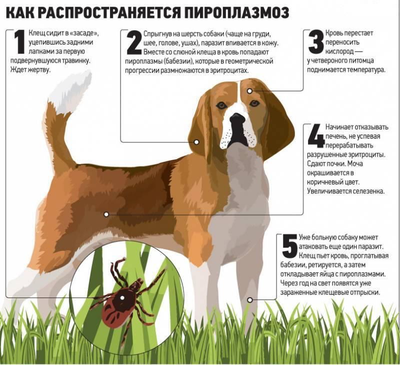 Все о пироплазмозе собак