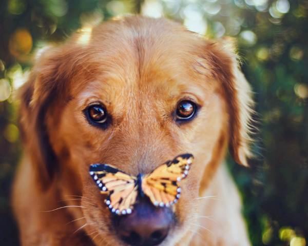Ретривер с бабочкой на носу