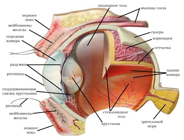 Анатомическое строение глаза домашнего питомца