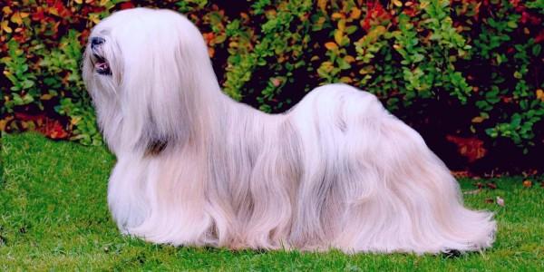 Белая собака породы апсо