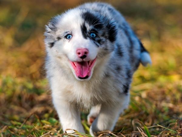 Забавный щенок австралийской овчарки