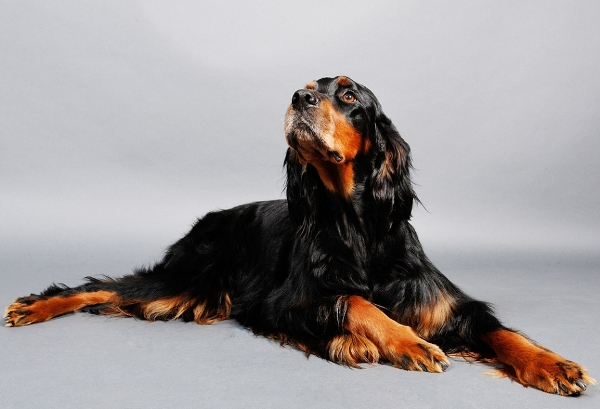 Собака породы шотландский сеттер