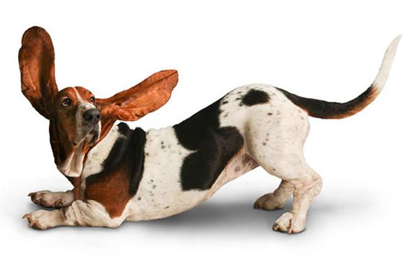 Бассет Хаунд с огромными ушами