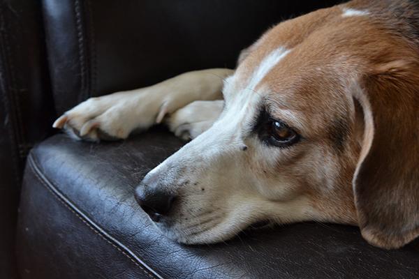 Собака лежит на диване