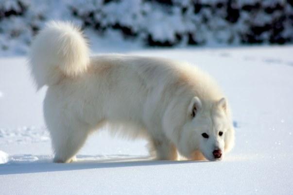 Белый маламут на снегу