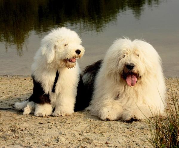 Бобтейлы - щенок и взрослый