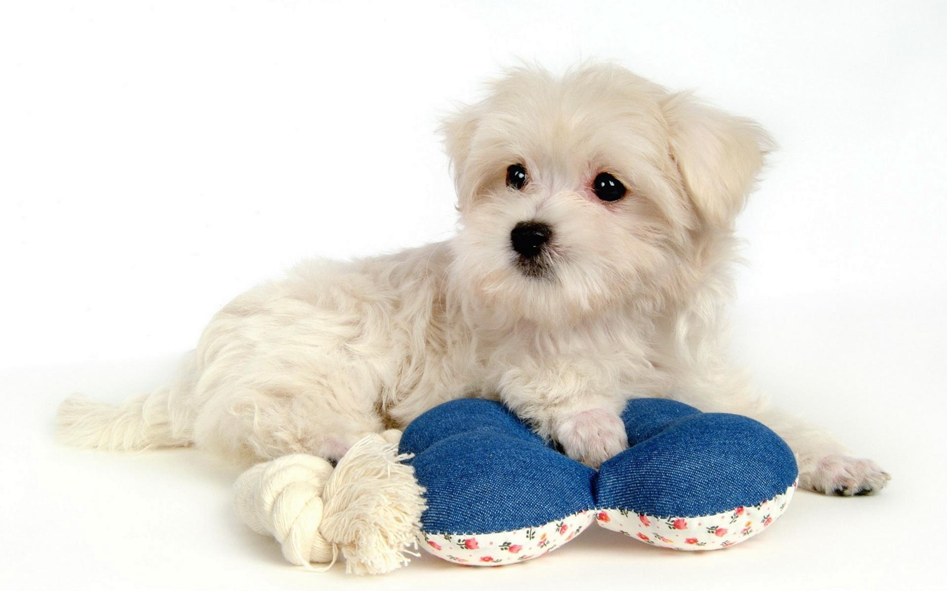 Белая болонка с игрушкой