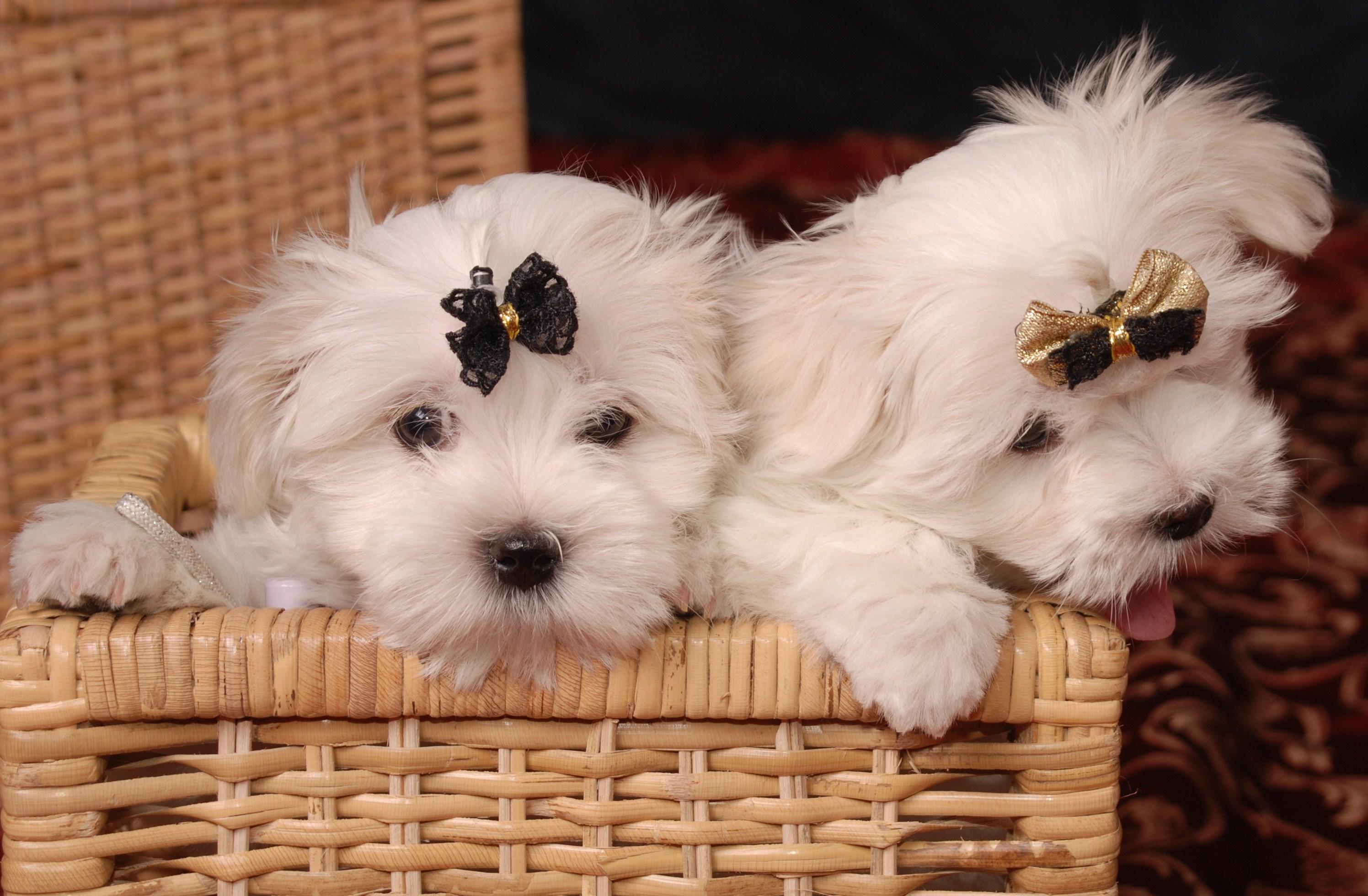 Два щенка французской болонки в корзине