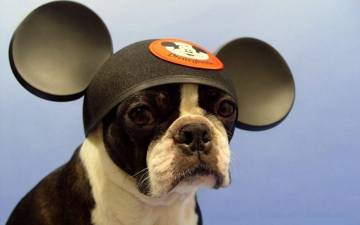 Щенок породы бостон-терьер в шапке Микки