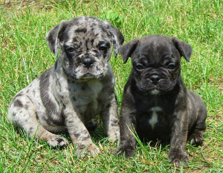 Два щенка бульмопса на траве